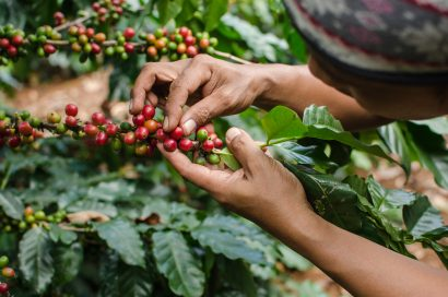 arabica coffee beans being picked
